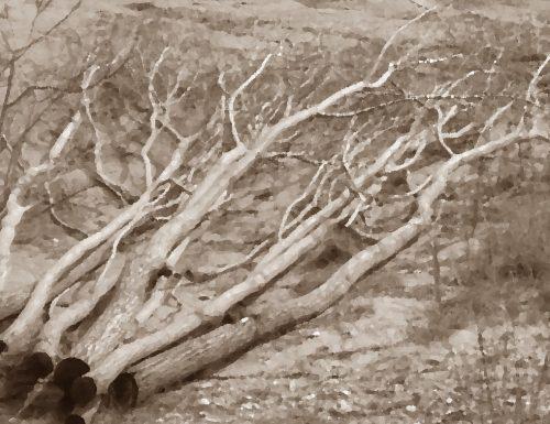 Raid nei campi: per dispetto tagliati ulivi e viti